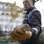París, la ciudad de las luces, inundado de ratas