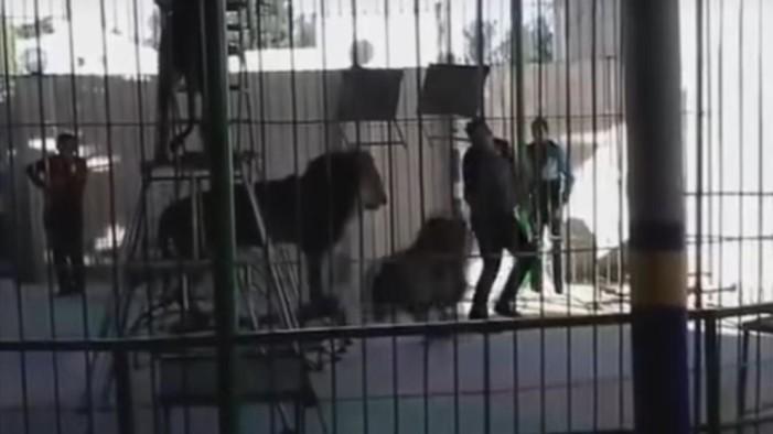 En pleno show, león mata a domador (video)