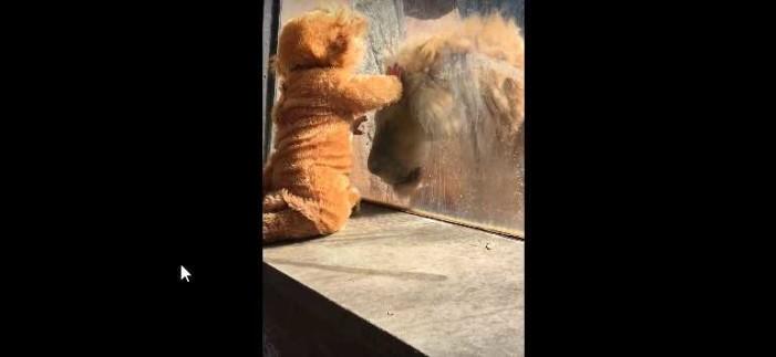Entrañable reacción de león cuando ve a niño disfrazado de cachorro