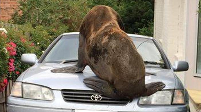 Lobo marino transita las calles de Australia