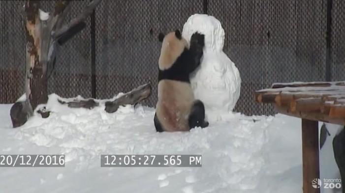 Panda se pelea con muñeco de nieve y se convierte tendencia (VIDEO)