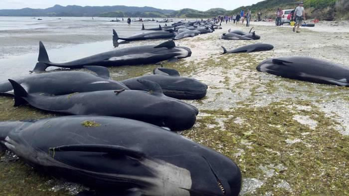 Encallaron 400 ballenas en Nueva Zelanda; 300 murieron