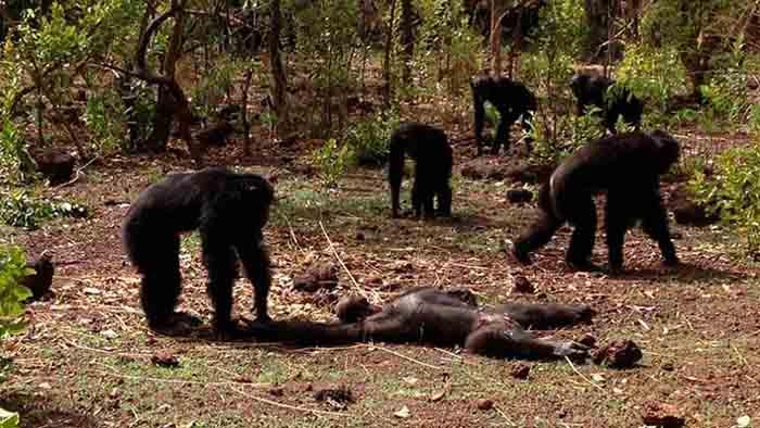 Chimpancés masacran al tirano que quiso retomar poder