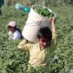 Con la venia de las autoridades, niños indígenas trabajaban en condiciones inhumanas en SLP