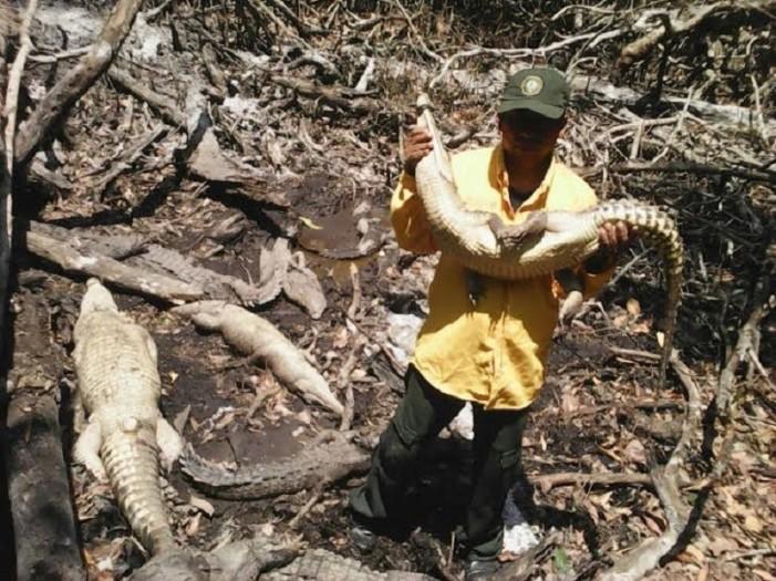 Rescatan a cocodrilos de matadero donde ordeñaban su sangre con fines 'medicinales'
