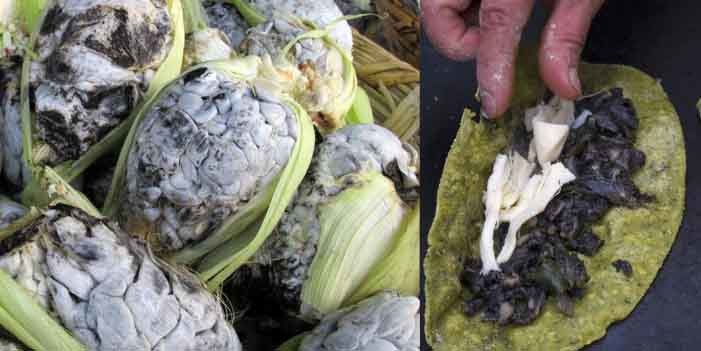 El huitlacoche, los mexicanos son los únicos que lo consumen