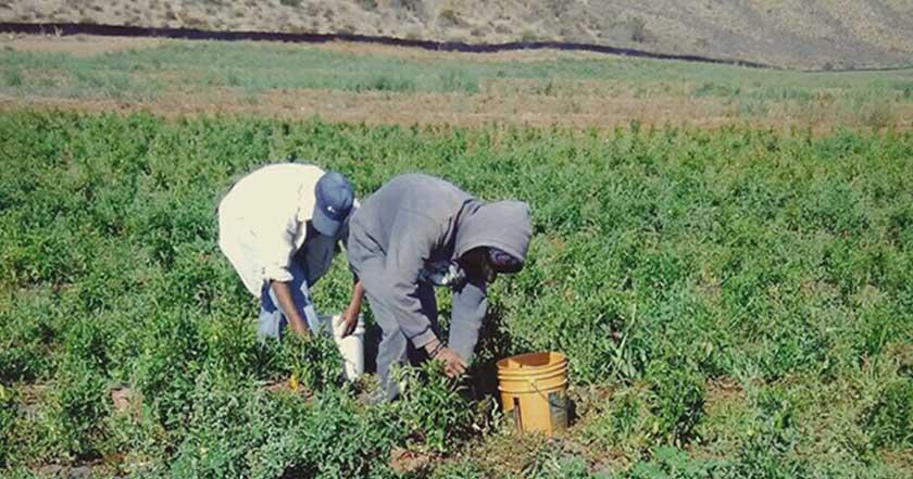 jornaleros de san quintín mujeres trabajadores baja california campo campesinos cultivo