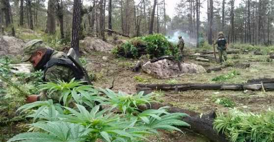 En Durango invaden sembradíos de drogas zonas urbanas
