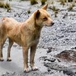 Conoce al perro más raro del mundo, se le consideraba extinto