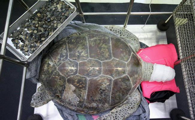 Extraen casi mil monedas de tortuga
