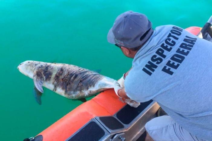 Otra vaquita marina muerta en Alto Golfo de California