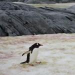 Antártida reverdece por calentamiento global