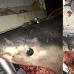 Tiburón de 200kg salta a bote de pescador, 'se salva de milagro'