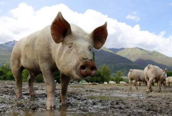 Hombre de Oaxaca se pone a pelear borracho con un cerdo, lo muerde y muere