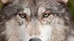 Nacen cinco crías de lobo gris mexicano en peligro de extinción (Video)