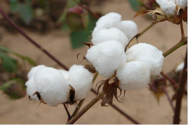 Investigadores producirán biodiésel con semilla de algodón