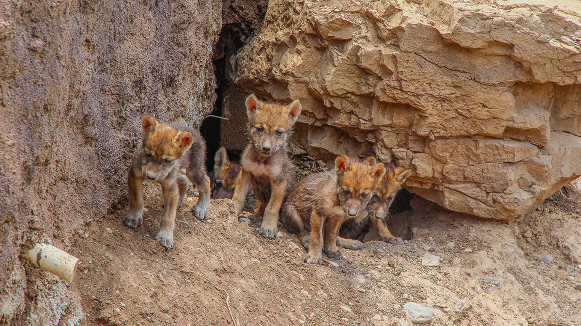Nacen Cinco Crías De Lobo Gris Mexicano En Peligro De