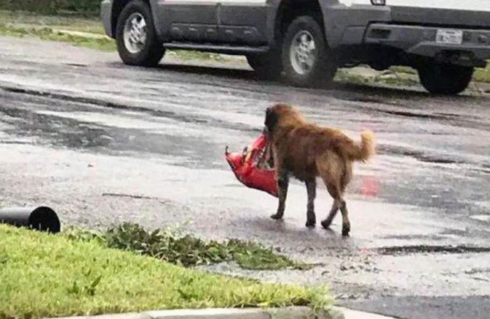 Otis, el perro que escapó del huracán Harvey con todo y bolsa de comida
