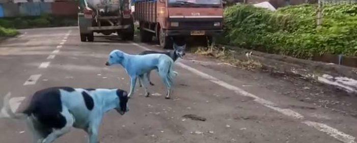 Los perros se ponen azules en India (VIDEO)