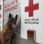 Balto, perro rescatista de Oaxaca, también apoya en labores de rescate