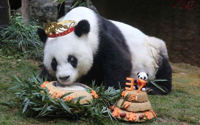 Basi la panda más vieja del mundo murió en China