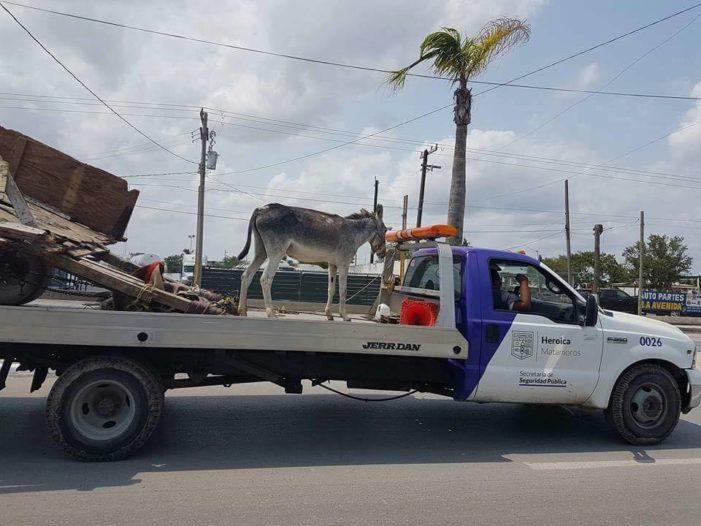 Abandonan a burro y es trasladado en corralón en Matamoros