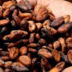 Investigadores del IPN señalan que el cacao mejora la salud del corazón