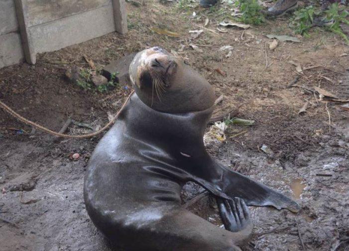 Muere lobo marino que fue rescatado tras ser amarrado a un árbol en Ecuador