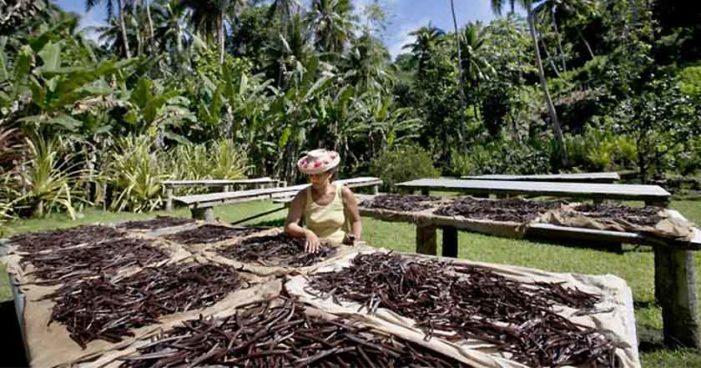 Crimen organizado está acabando con cultivo de vainilla mexicana