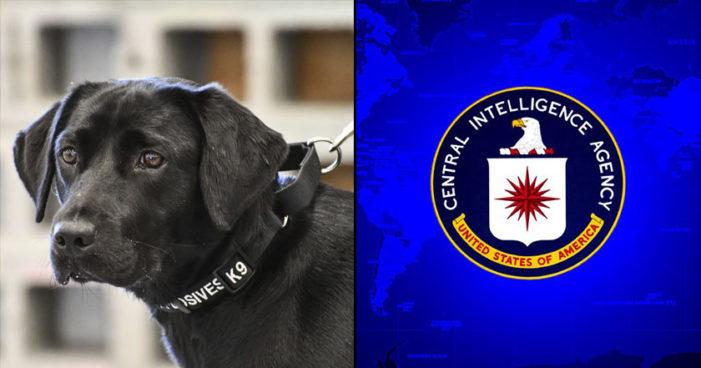 Despiden a perrita que 'ya no se sentía cómoda' buscando bombas para la CIA