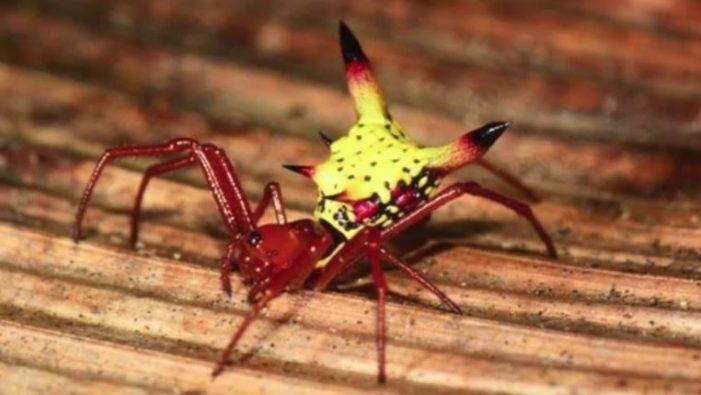Sorprende descubrimiento de araña que se parece a Pikachu en Honduras
