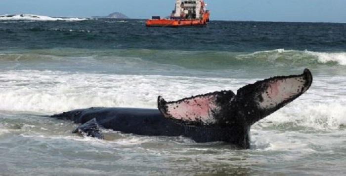 Ciudadanos y autoridades salvan a una ballena de morir encallada en Brasil