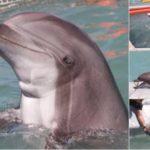 Delfines entrenados buscarán a vaquitas marinas para ser llevadas a santuario