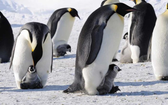 Mueren de hambre 40 mil crías de pingüino en la Antártida (VIDEO)