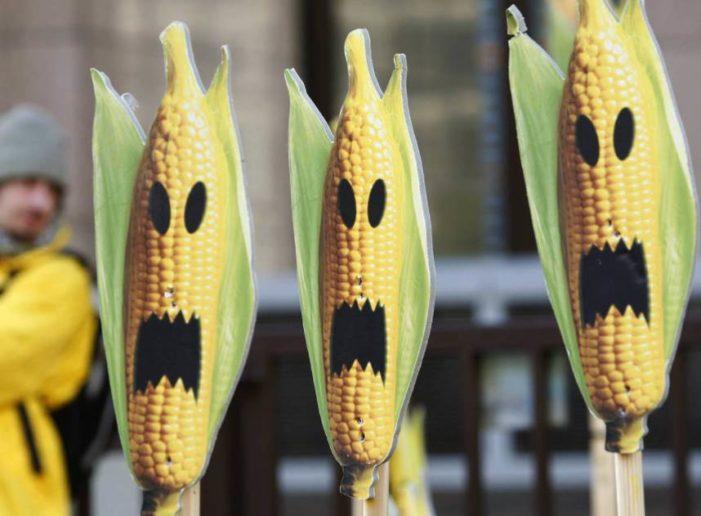 Seguirá suspendida la siembra de maíz transgénico en el país