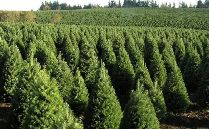 Profepa detiene árboles de Navidad provenientes de Estados Unidos por plaga