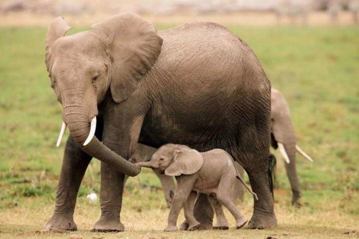 Elefante agradece a humanos que liberaron a una cría (VIDEO)