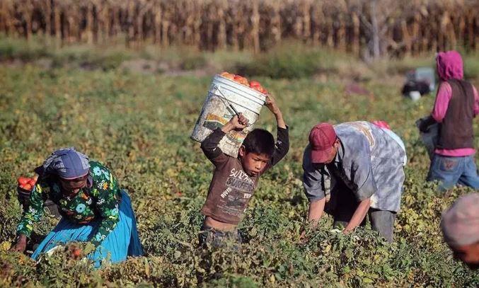 Jornaleros ganan un peso por bote de tomates, trabajan largas jornadas en pésimas condiciones