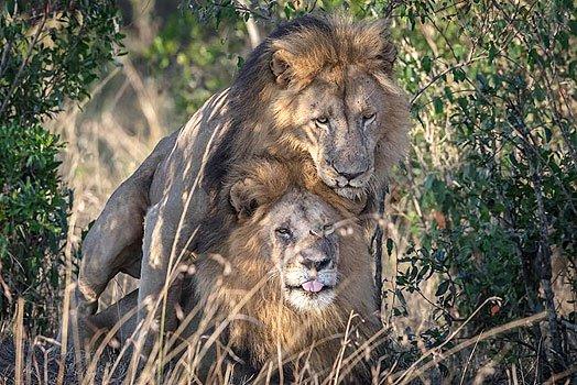 Funcionario de Kenia culpa a turistas gay por pareja de leones machos