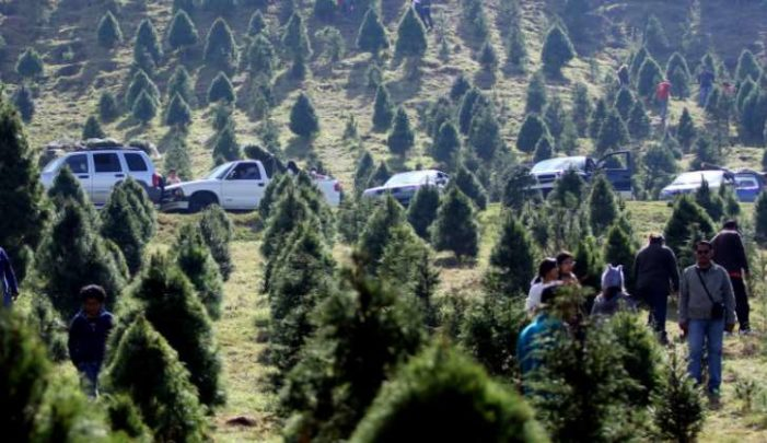 Productores de la CDMX ofertarán cerca de 178 mil árboles de Navidad