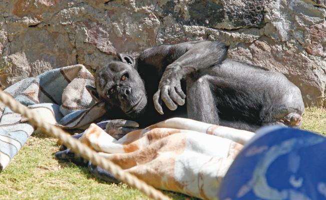 Zoológico de Zacango da cobijas a animales por los fuertes fríos