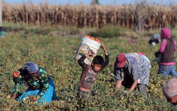 Niños jornaleros comen tomates fumigados y se intoxican en Sinaloa