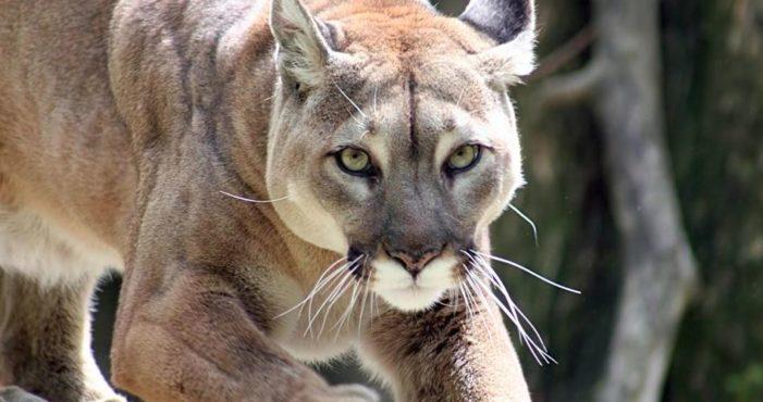 Se extingue Puma de Norteamérica… oficialmente