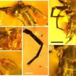 Encuentran a insecto mitad araña, mitad escorpión perfectamente conservado