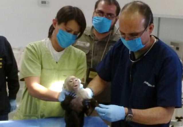 ¡Por fin! Capturan al mono Capuchino que deambulaba por la CDMX