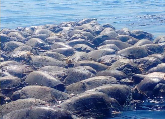 Más de 300 tortugas marinas mueren atrapadas en una red — México