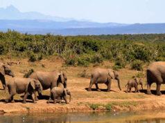 Cazadores furtivos mataron a casi cien elefantes en Botsuana