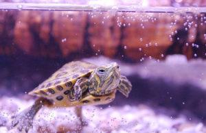Mujer va a urgencias, encuentran tortuga en su vagina; pudo ser una agresión sexual