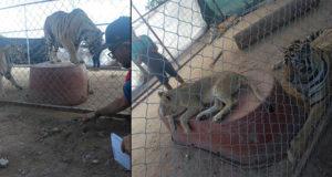 Tigre hiere de gravedad a niña; decomisan 5 animales en zoológico del padre