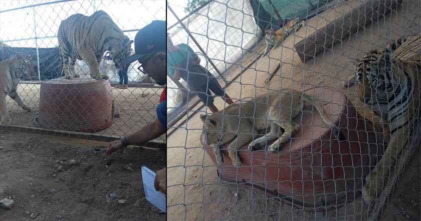 Tigre hiere de gravedad a niña; decomisan 5 animales en 'zoológico' del padre